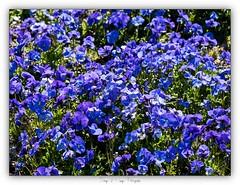 Pb_4150143 (calpha19) Tags: imagesvoyagesphotography olympusomdem1mkii zuiko m60macrof28 adobephotoshoplightroom couleurs printemps 2019 flore fleurs flowers proxy proxyphoto vosges grangessurvologne grandest ngc flickrsexplore