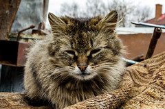 The cat is sitting on the street (ivan_volchek) Tags: cat animal pet feline kitten eyes fur cute portrait mammal domestic eye face angry outdoors nature kitty head pets beautiful wildcat wild wildlife sweet