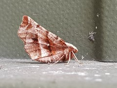 Early Thorn Moth....Seen at work...first for site (Huddsbirder) Tags:
