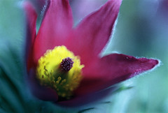 Intimate Dimensions (Kippy!) Tags: flower macroreversal lensreversal closeup petals stamen stigma purple yellow cyan winterbournegardens leicar8 fujicolorc200 c41 35mm colourfilm 50mm summicron bokeh colour