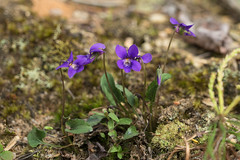 Viola sagittata (Arrow-leaved Violet) (jimf_29605) Tags: violasagittata arrowleavedviolet persimmonridgeroad greenvillecounty southcarolina wildflowers sony a7rii 24240mm