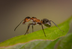 ant (Remosone) Tags: ant macro macrophotography macrophoto leaf closeup nature nikon sigma ants 105mm28 d5300 dof deemos outdoor