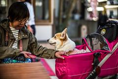 Conversation (moaan) Tags: iga mie japan woman dog corgi welshcorgi seri talking conversation cafe focusonforeground selectivefocus bokeh bokehphotography dof leica leicamp type240 noctilux 50mm f10 noctilux50mmf10 leicanoctilux50mmf10 utata 2019