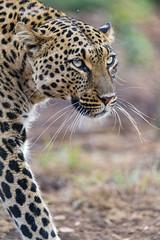 Portrait of Choetta walking (Tambako the Jaguar) Tags: leopard big wild cat female leoapardess asiatic asian walking portrait face close vegetation safari beautiful pacing lionsafaripark johannesburg southafrica nikon d5