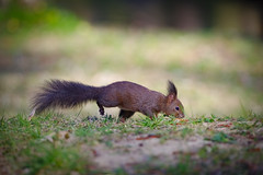 Confirmed normal Slovak squirrel lol (Paul Wrights Reserved) Tags: squirrel squirrels redsquirrel blacksquirrel tuftedsquirrrel mammal mammals animal animals hybrid tufted long ear cute bokeh