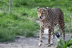 Cheetah (nickym6274) Tags: chesterzoo chester cheshire uk zoo animal cheetah tongue content