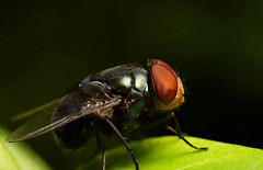Fly Profile (Craig Tuggy) Tags: thailand bangkok fly macro reverse lens stack nature