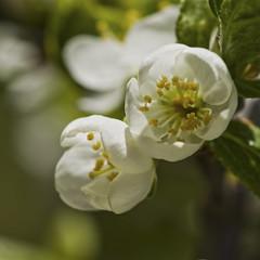 Blooming plum tree (Svein K. Bertheussen) Tags: plommetre blomst plumtree blomstring blooming vår spring sandnes rogaland norway norge nature natur