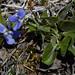 Viola rupestris (Teesdale Violet)