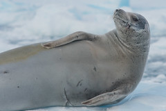 Don't call me Scarface! (Tim Melling) Tags: carcinophaga crabeater seal antarctica scars scarred battlescars timmelling lobodon