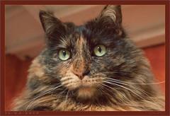 DSC04636 Easy Portrait (Olpo2vin) Tags: cat chat yeux eyes regard look félin feline olpo easy poils fourrure redessan 30129 animaldecompagnie vibrisses