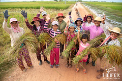 Heifer Cambodia-028 (Heifer International) Tags: 2018 cambodia harvest rice