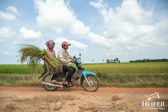 Heifer Cambodia-024 (Heifer International) Tags: 2018 cambodia harvest rice