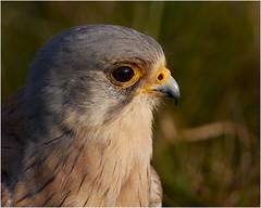 Male Kestrel - Head shot (Dave_Hawk) Tags: kestrel flacon falcotinnunculus head