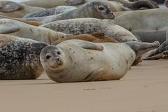 grey seal (colin 1957) Tags: greyseal seal greatyarmouth