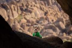Cute Guard Dog in a Green Sweater (RS2Photography) Tags: 2019 pictureoftheday canon80d life new smugmug naturephotography nature natur art portrait rs2photography stone ross window dog cute anmial canon 80d flickr california dapper dapperdog cutedog animalplanet pet owensvalley easternsierra alabamahills pupper doggo