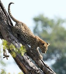 Lion cub coming down a tree - Abu concession - Delta of Okavango – Botswana (lotusblancphotography) Tags: africa afrique botswana abu deltaokavango nature wildlife faune safari leopard léopard cub leopardcub bébéléopard tree arbre