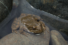 Foothill Yellow-legged Frog (Rana boylii) (Zachary Cava) Tags: green ranaboylii foothillyellowleggedfrog rana frog amphibian animalia chordata anura ranidae amphibia herpetology