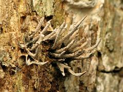 Candlesnuff Fungus (treegrow) Tags: rockcreekpark washingtondc nature lifeonearth raynoxdcr250 fungi xylariahypoxylon xylariaceae deadwood