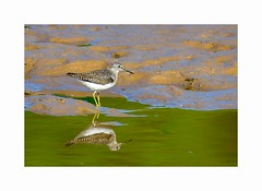 Solitary Sandpiper (George McHenry Photography) Tags: birds shorebirds sandpiper solitary solitarysandpiper southcarolinabirds southcarolina