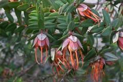 Darwinia citriodora 1 (nbgact) Tags: australian national botanic gardens canberra act barry m ralley barrymralley dicotyledons lemonscented darwinia darwiniacitriodora