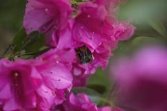 Azaleas 04/15/2019 (jackie.moonlight) Tags: bee carpenter azalea azaleas flower pink flowers bloom blossom