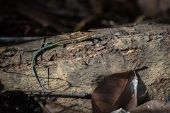 Soft release of blue-tailed skinks a successSoft release of blue-tailed skinks a success (Parks Australia) Tags: ifttt wordpressapril 17 2019 1010am