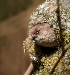 Bushtit_1NG7148 (adventure_photography) Tags: bushtit nest feeding jericho