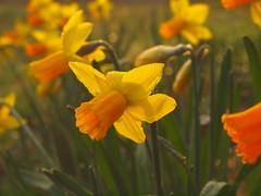 MANY DAFFODILS P3240757 (hlh 1960) Tags: daffodils narzissen blumen flower blossom farben colour gelb yellow orange nature naturoutside spring springtime frühling osterglocken green grün blätter leaves gras