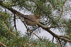 Bush Tit - 094A8495a1c (Sue Coastal Observer) Tags: bushtit bush psaltriparusminimus brydonlagoon langley bc britishcolumbia canada female