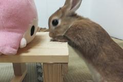 Ichigo san 1534 (Errai 21) Tags: いちごさんとララ ichigo san  リトルツインスターズ ララ ichigo rabbit bunny cute netherlanddwarf pet うさぎ ウサギ いちご ネザーランドドワーフ ペット 小動物  ichigo 1534