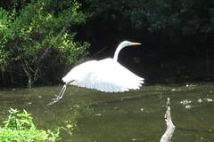 flying great egret (close-up) (Cheryl Dunlop Molin) Tags: greategret birdsinflight egret bird