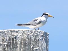 least tern (Cheryl Dunlop Molin) Tags: leasttern tern birdsinflorida