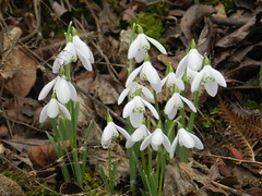 Snowdrops, Craigellachie, Speyside, Feb 2019 (allanmaciver) Tags: snowdrops craigellachie speyside scotland delicate flower white spring macro natural allanmaciver