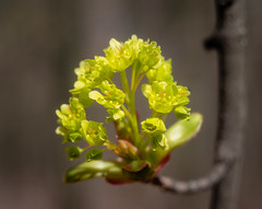This is maple blossoms, right? (bolex.ua) Tags: flowers tree ukraine kyiv branches beauty blossom цветы цветение весна апрель macro oldlens industar502 индустар502 industar50mm макро