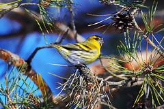 spring bird (Alex Brainberg) Tags: spring bird nikon d500 300mm afs f4