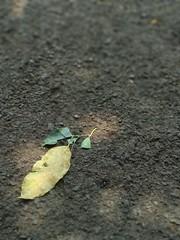 Leaf (santosorifqi) Tags: leaf daun amateur amatir xiaomi