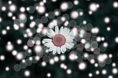pink (Greg M Rohan) Tags: round circles circle bokeh petals plant nature pinkflower pink d750 2018 nikon nikkor