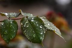 gouttes (Giemef) Tags: plantes pluie jardin gouttes deau