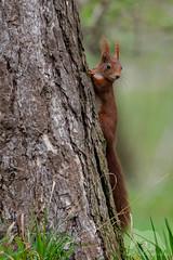 Curious Red Squirrel (fascinationwildlife) Tags: animal mammal wild wildlife red squirrel eichhörnchen curious cute deutschland germany bayern bavaria munich münchen englischer garten tree spring nature natur park urban