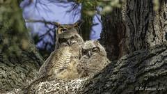 Great Horned Owls (Bob Gunderson) Tags: birds bisonpaddock bubovurginianus california goldengatepark greathornedowl northerncalifornia owls sanfrancisco