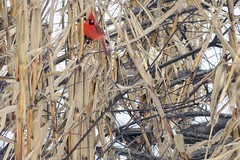 On Watch (The Legend Kay) Tags: sherrard moline us usa travel travelphotography wildlife wildlifephotography bird birdphotography birding birdlovers birdwatching birdpics birds usbirds nature naturephotography animalphotography naturelovers ecology ecologylife corn field snow ice winter cardinal northerncardinal