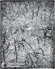 Oak (Thomas Henneman) Tags: abstract black blackandwhite hillside lincolnnationalforest monochrome newmexico nogalcanyon oak tree white whitemountainwilderness carrizozo usa