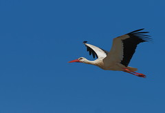 Stork (alanrharris53) Tags: olympus mft portugal algarve