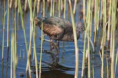 Glossy Ibis Juvenile (Plegadis falcinellus) (gipukan (rob gipman)) Tags: glossy ibis juvenile eempolder arnenheem netherlands canon canon300lis4 14x sun morning riet blue bird 177a0586