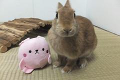 Ichigo san 1535 (Errai 21) Tags: いちごさん うさぎとうさぎ ichigo san  ichigo rabbit bunny cute netherlanddwarf pet うさぎ ウサギ いちご ネザーランドドワーフ ペット 小動物 1535