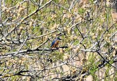 Martin pêcheur 08 (Jean-Daniel David) Tags: oiseau nature faune martinpêcheur bleu orange arbre vert verdure réservenaturelle lac lacdeneuchâtel grandecariçaie forêt nikon nikond5600 tamronspaf150600mmf563a022
