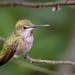 Anna's Hummingbird (f)
