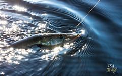 """Võrtsu avang - 2019' 🎣 (Igor """"Ixa"""" Nael) Tags: kalapüük kalamehed haugipüük haug voobler kuusamo rapala westin jerk fishing fisherman fish pike võrtsjärv lake estonia"""