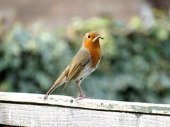 A Feeding Robin Redbreast in our garden (Bucks photographer) Tags: robinredbreast robin redbreast canonsx530hs canonphotography sx530hs britishwildlife wildlife rspbwildlife